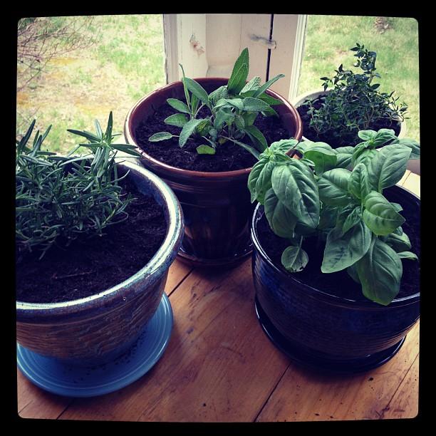 transplanted herbs